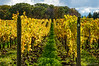 Vines in Niagara region