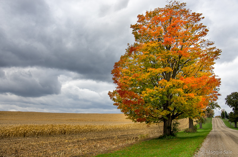 Maple and cornfield near Guelph