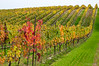 vines in Niagara Region