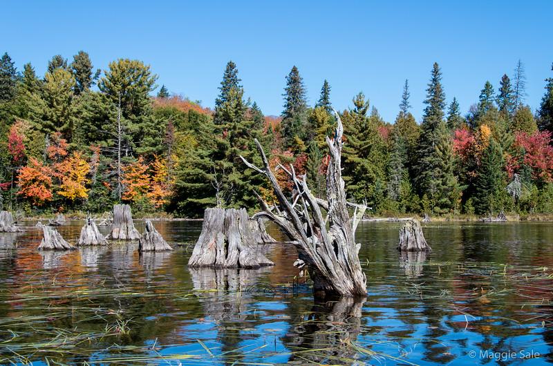 Stumps on Bonita Lake, Algonquin Park