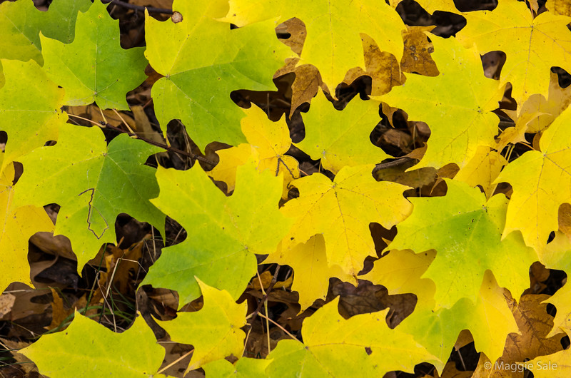 Maple leaves on Blue Mountain, Collingwood