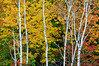 Birch trees along Highway 69 near French River