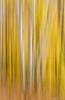 Birch trees in Arrowhead PP