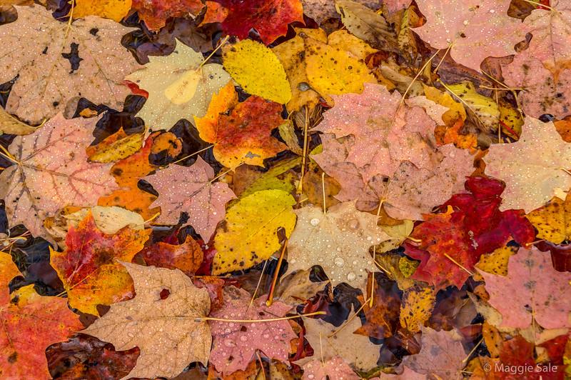 Leaves on Limberlost trail