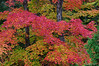 Red maples in Algonquin Park