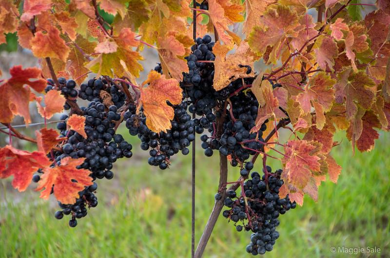 Grapes at harvest time, Niagara region