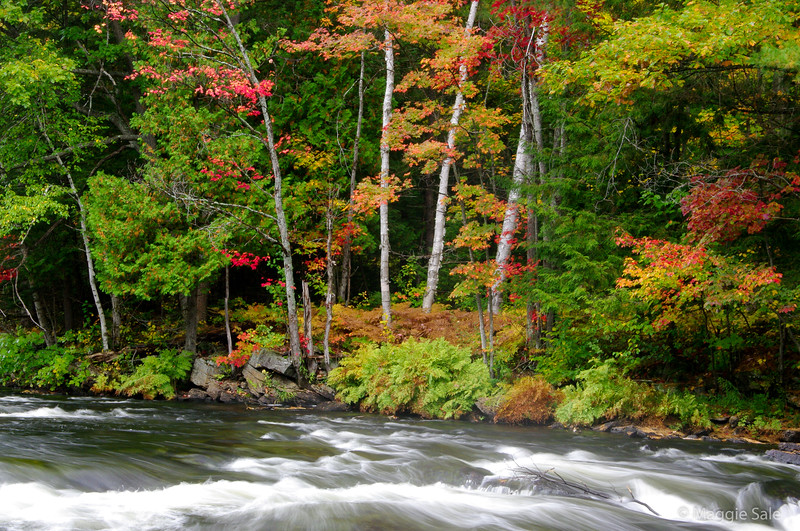 Maples and birch along Oxtongue River near Dwight