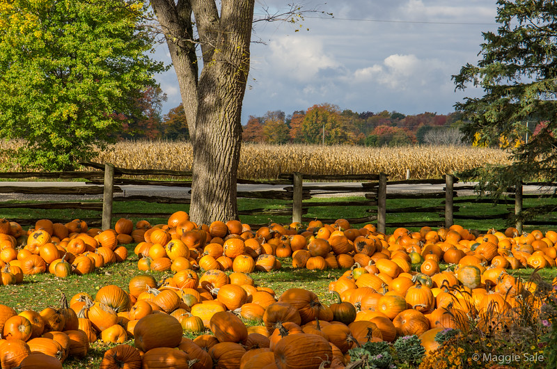 Pumpkins at Strom's Farm, Guelph