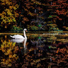 Swan and Fall Foliage Reflecting off Pond in North Andover Massachusetts