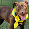 Chocolate (A371168) 10-month-old light brown pit bull
