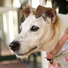 Up for adoption! Elizabeth (A370587) 10-year-old white Jack Russell mix