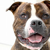 ID# A357438  Neutered male, brindle and white Staffordshire Bull Terrier, about 1 year and 1 month old.