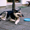 Skylla with her beloved Frisbee - May 1981