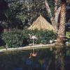 Knotts Berry Farm - Flamingo by pond - 1964