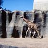San Diego Zoo - Giraffe running free - 1964