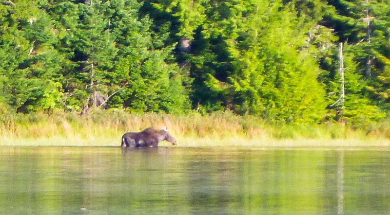 Moose on Hardwood Pond