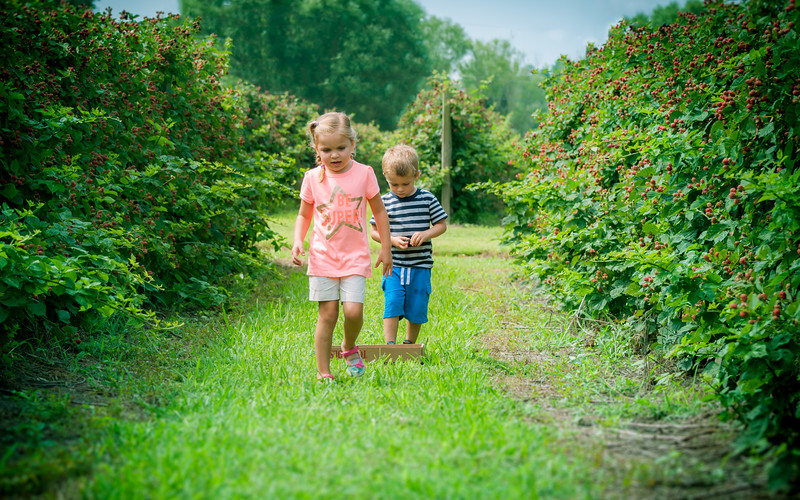 Blue Berry Picking - July 3