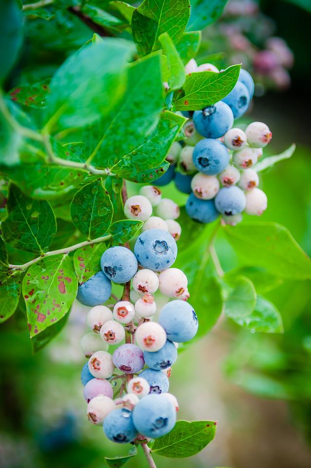 Virginia Blue Berries