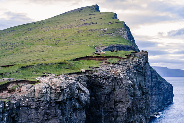 Traelanipa, Faroe Islands.  The sheep here are fearless.
