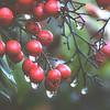 Winter Berries II