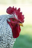 Close-up of Rhode Island Red rooster