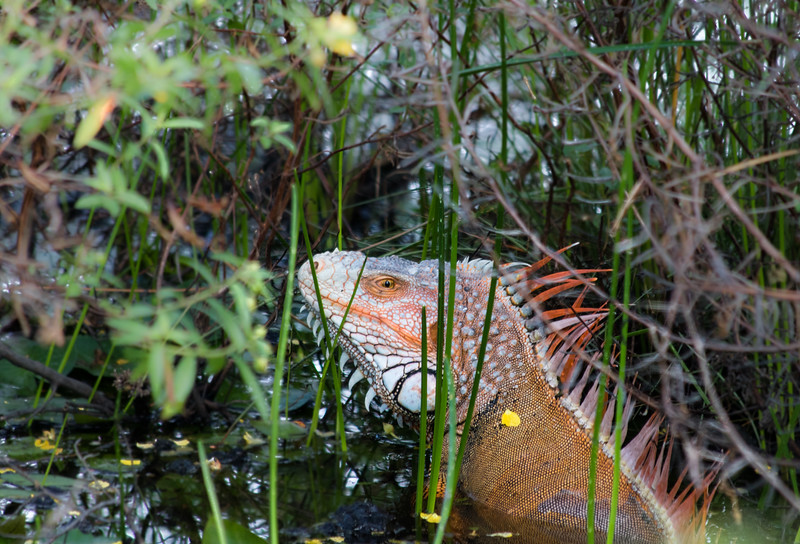Red iguana hiding in a pond