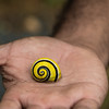 Endemic Polymita picta land snail near Baracoa