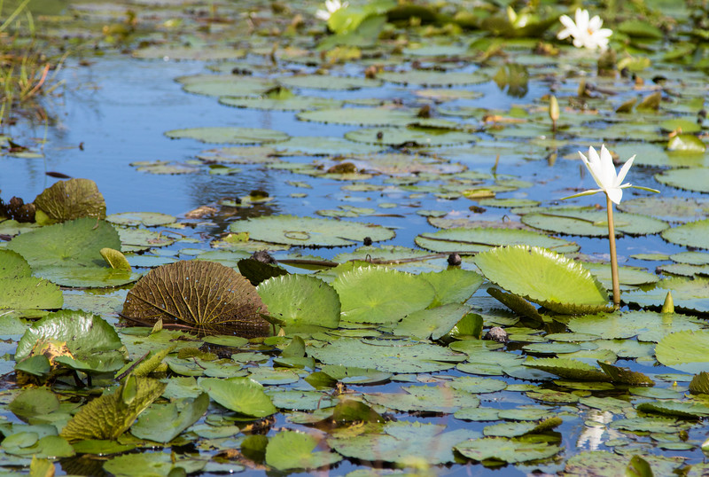 Water lilies and round leaves in pond