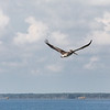 Brown pelican over Chincoteague Island