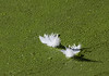 Two white feathers floating on a pond convered by duckweed