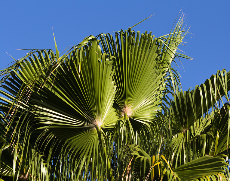 Fan palms in a tropical setting