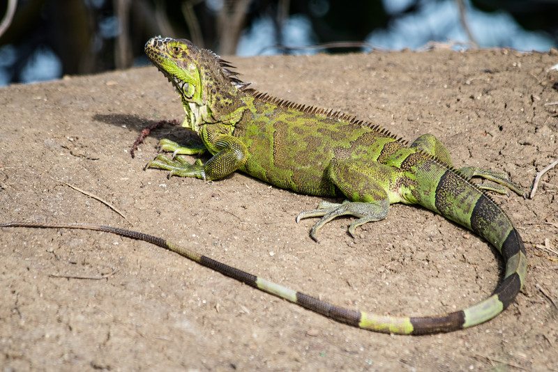 Green iguana basking in the sun