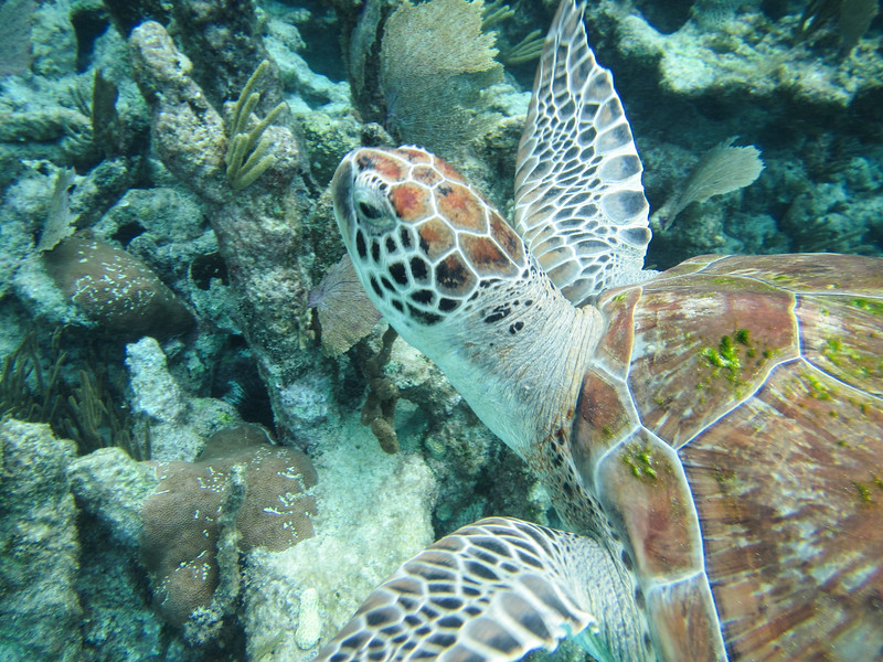 Underwater close up of a green turtle swimming over coral, Riviera Maya, Mexico