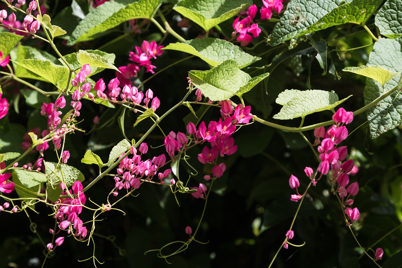 Coral vine flowers in a tropical setting