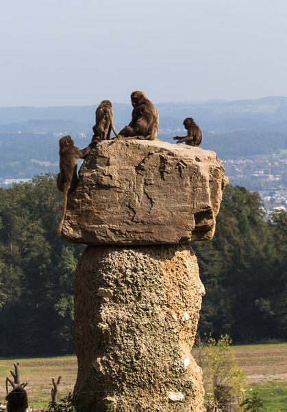Group of chelada baboons on top of a rock
