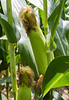 Ripe corn ear ready to be harvested