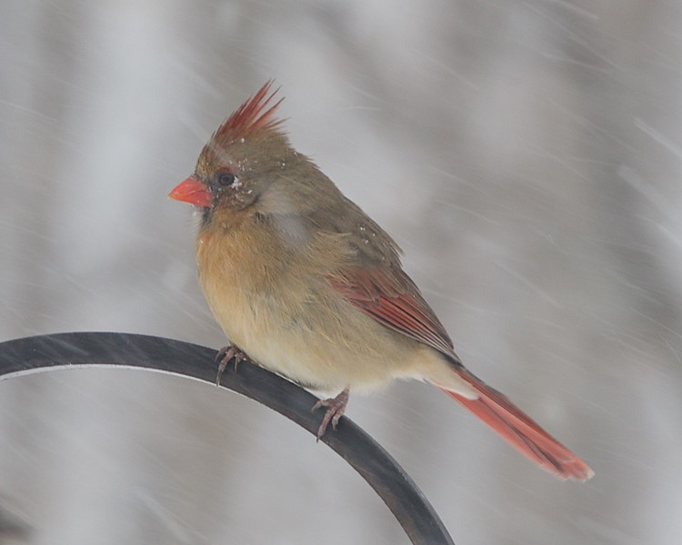 Female cardinal riding out the storm