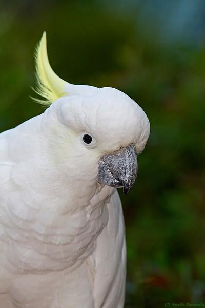Sulphur-crested Cockatoo (captive)