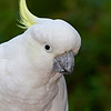 Sulphur-crested Cockatoo (captive)