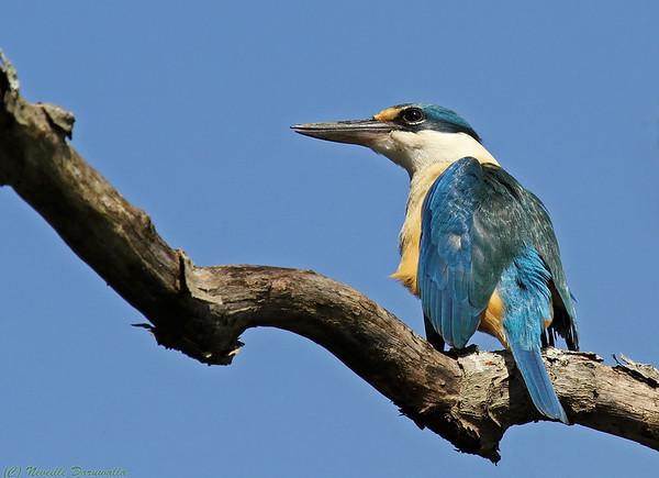 Sacred Kingfisher (male)