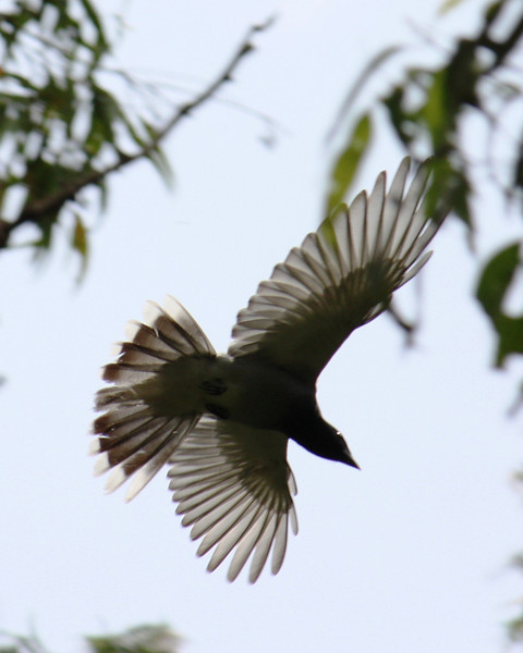 faced Cuckoo Shrike