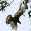 faced Cuckoo Shrike