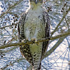 Powerful Owl - juvenile