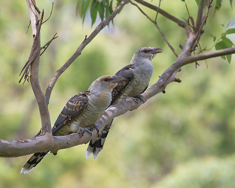 Channel-billed Cuckoos