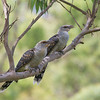Channel-billed Cuckoos