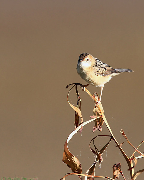 Golden headed Cisticola