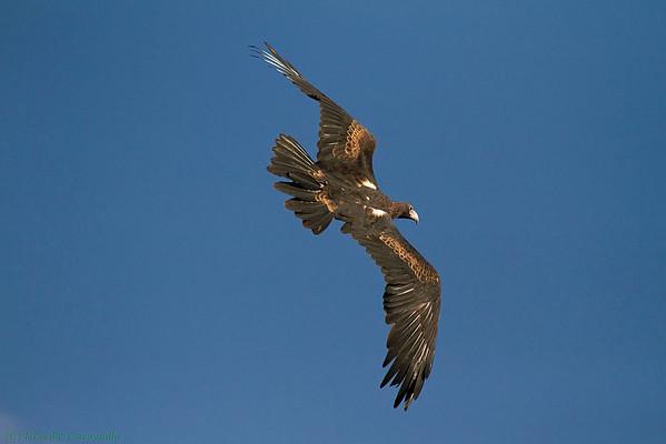 Wedge tailed Eagle (captive)