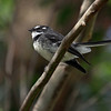 Gray Fantail