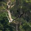 Raven attacking a Sea-eagle