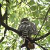 Powerul Owl